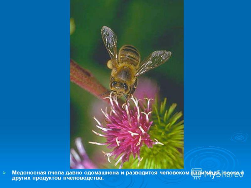 Медоносная пчела давно одомашнена и разводится человеком ради меда, воска и других продуктов пчеловодства.