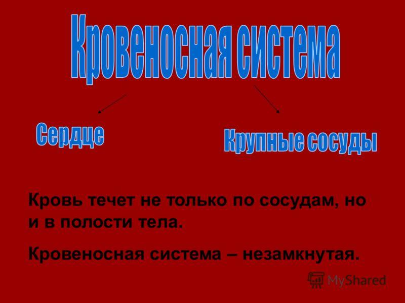 Кровь течет не только по сосудам, но и в полости тела. Кровеносная система – незамкнутая.