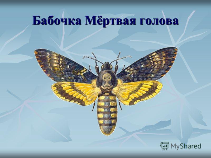 Бабочка Мёртвая голова