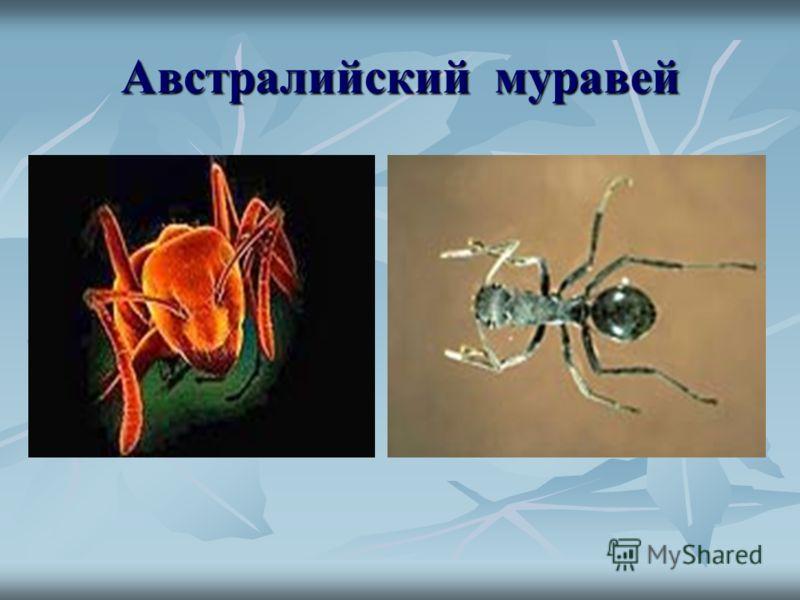 Австралийский муравей
