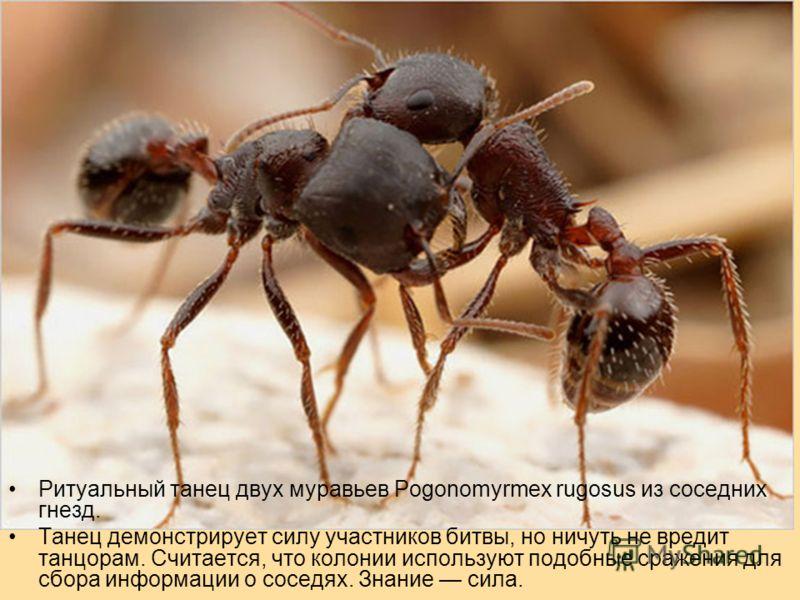 Ритуальный танец двух муравьев Pogonomyrmex rugosus из соседних гнезд. Танец демонстрирует силу участников битвы, но ничуть не вредит танцорам. Считается, что колонии используют подобные сражения для сбора информации о соседях. Знание сила.