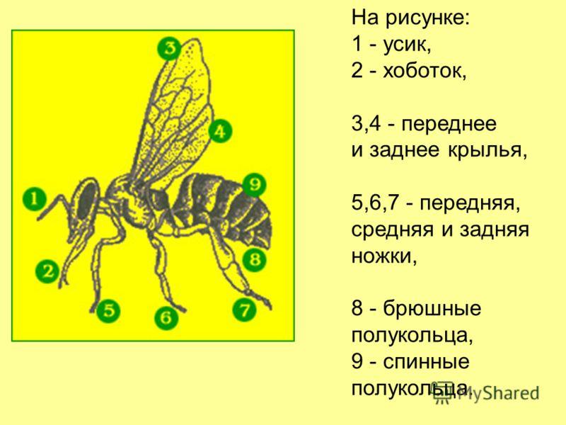 На рисунке: 1 - усик, 2 - хоботок, 3,4 - переднее и заднее крылья, 5,6,7 - передняя, средняя и задняя ножки, 8 - брюшные полукольца, 9 - спинные полукольца.
