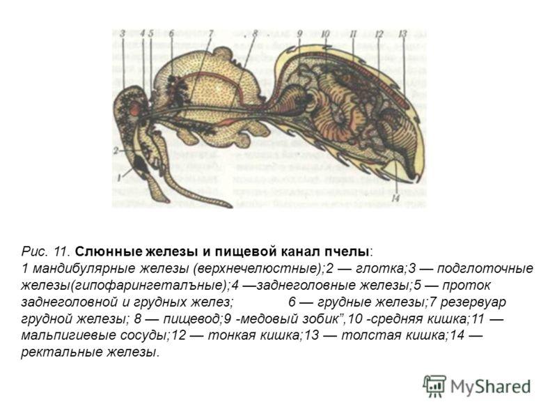 Рис. 11. Слюнные железы и пищевой канал пчелы: 1 мандибулярные железы (верхнечелюстные);2 глотка;3 подглоточные железы(гипофарингеталъные);4 заднеголовные железы;5 проток заднеголовной и грудных желез; 6 грудные железы;7 резервуар грудной железы; 8 п