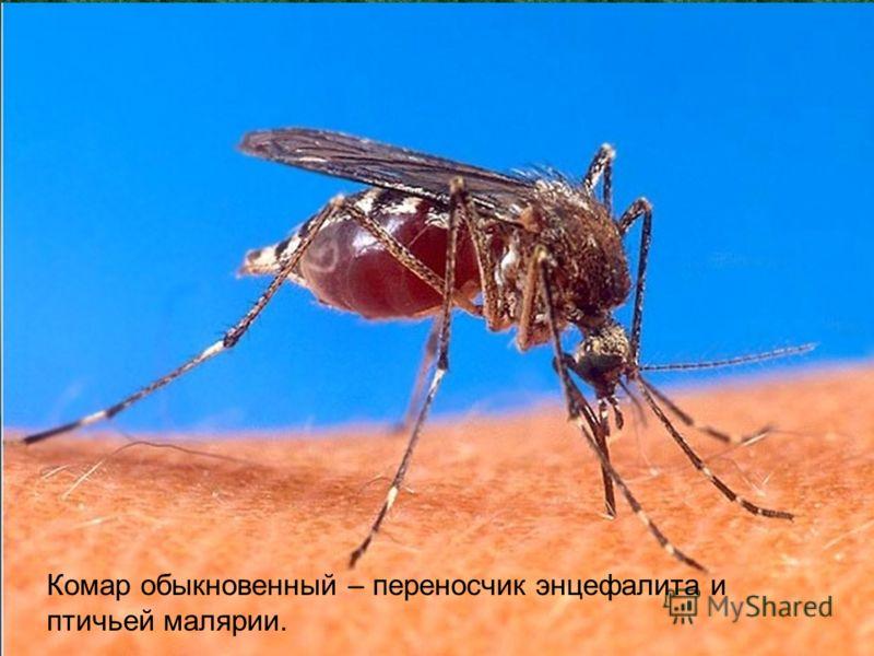 Комар обыкновенный – переносчик энцефалита и птичьей малярии.