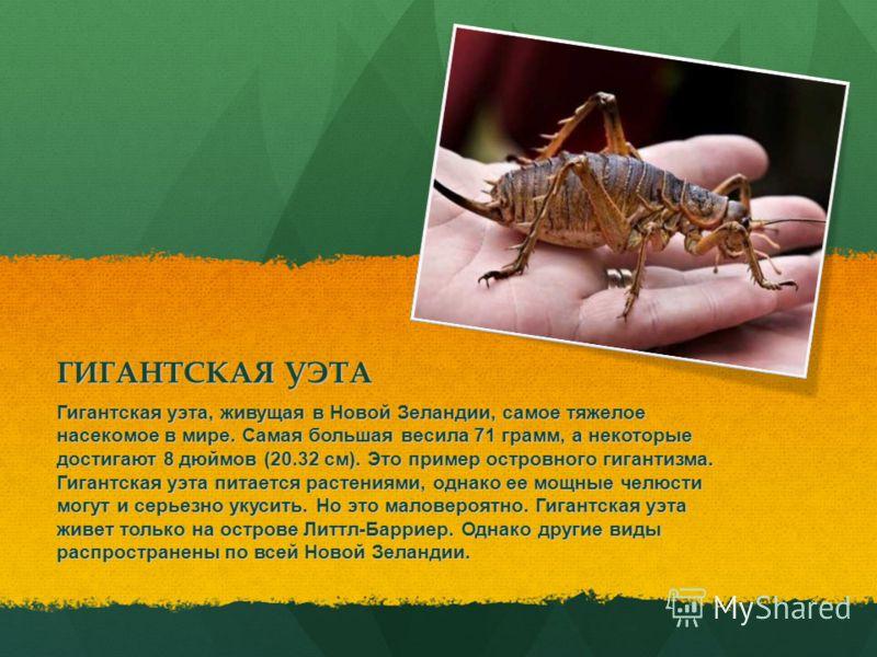 ГИГАНТСКАЯ УЭТА Гигантская уэта, живущая в Новой Зеландии, самое тяжелое насекомое в мире. Самая большая весила 71 грамм, а некоторые достигают 8 дюймов (20.32 см). Это пример островного гигантизма. Гигантская уэта питается растениями, однако ее мощн