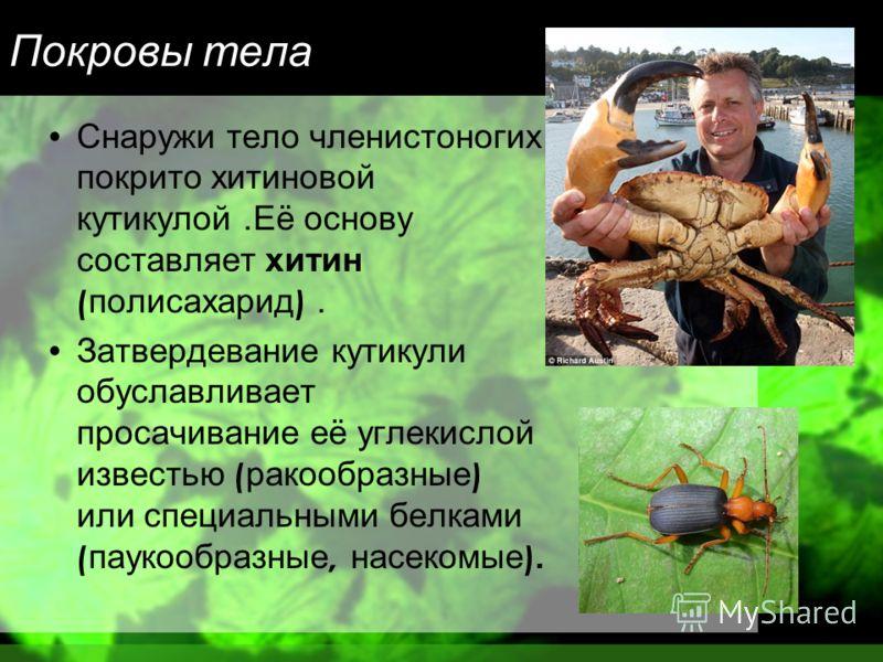 Покровы тела Снаружи тело членистоногих покрито хитиновой кутикулой. Её основу составляет хитин ( полисахарид ). Затвердевание кутикули обуславливает просачивание её углекислой известью ( ракообразные ) или специальными белками ( паукообразные, насек