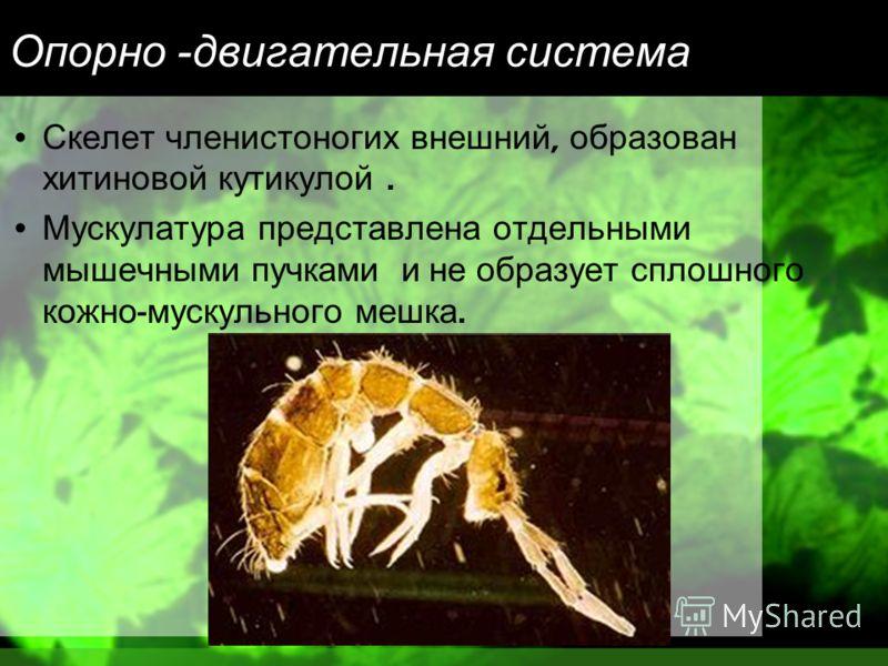 Опорно - двигательная система Скелет членистоногих внешний, образован хитиновой кутикулой. Мускулатура представлена отдельными мышечными пучками и не образует сплошного кожно - мускульного мешка.