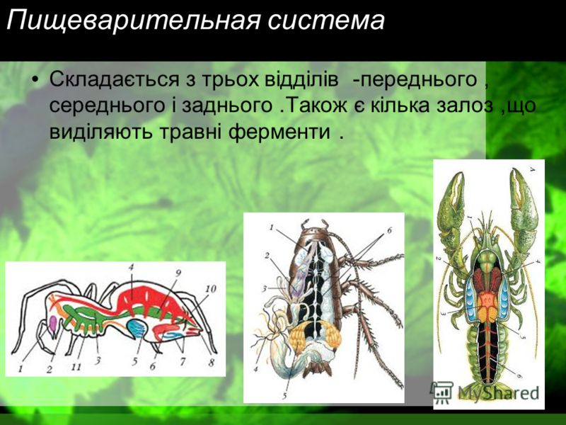 Пищеварительная система Складається з трьох відділів - переднього, середнього і заднього. Також є кілька залоз, що виділяють травні ферменти.