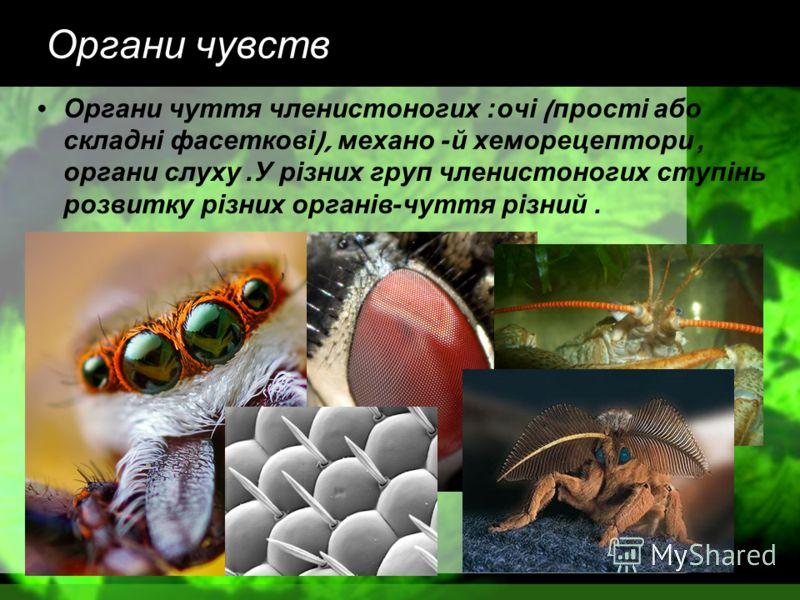 Органи чувств Органи чуття членистоногих : очі ( прості або складні фасеткові ), механо - й хеморецептори, органи слуху. У різних груп членистоногих ступінь розвитку різних органів - чуття різний.