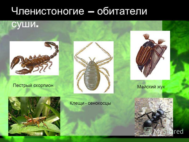 Членистоногие – обитатели суши. Пестрый скорпион Клещи - сенокосцы Майский жук