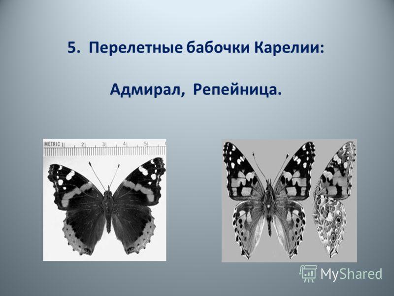 5. Перелетные бабочки Карелии: Адмирал, Репейница.