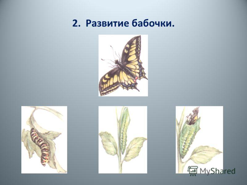2. Развитие бабочки.