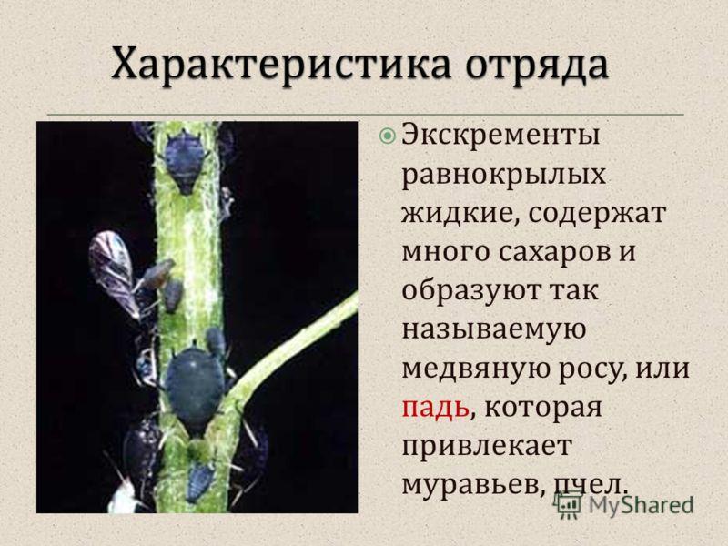 Экскременты равнокрылых жидкие, содержат много сахаров и образуют так называемую медвяную росу, или падь, которая привлекает муравьев, пчел.