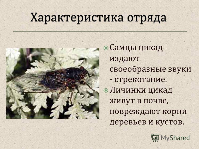 Самцы цикад издают своеобразные звуки - стрекотание. Личинки цикад живут в почве, повреждают корни деревьев и кустов.