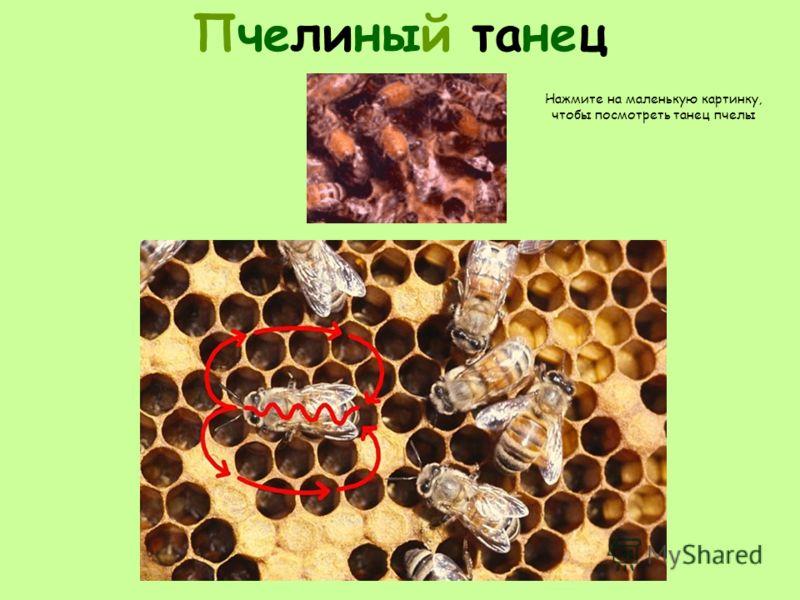 Пчелиный танец Нажмите на маленькую картинку, чтобы посмотреть танец пчелы