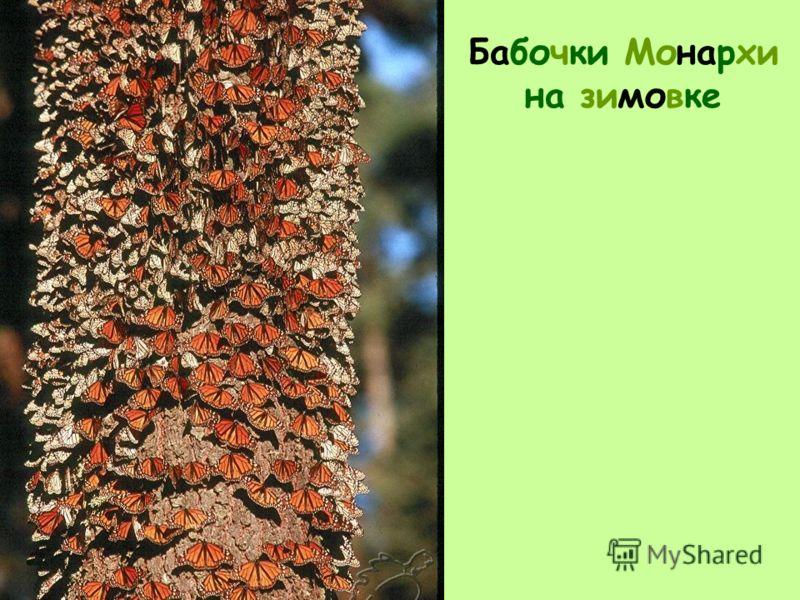 Бабочки Монархи на зимовке
