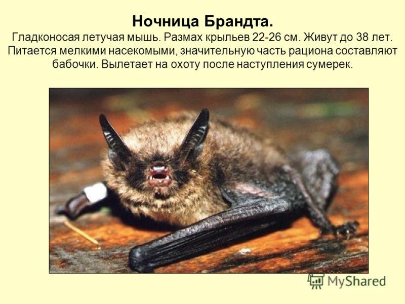Ночница Брандта. Гладконосая летучая мышь. Размах крыльев 22-26 см. Живут до 38 лет. Питается мелкими насекомыми, значительную часть рациона составляют бабочки. Вылетает на охоту после наступления сумерек.