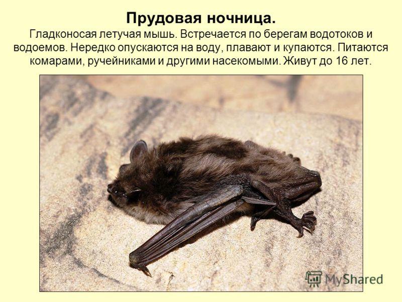 Прудовая ночница. Гладконосая летучая мышь. Встречается по берегам водотоков и водоемов. Нередко опускаются на воду, плавают и купаются. Питаются комарами, ручейниками и другими насекомыми. Живут до 16 лет.