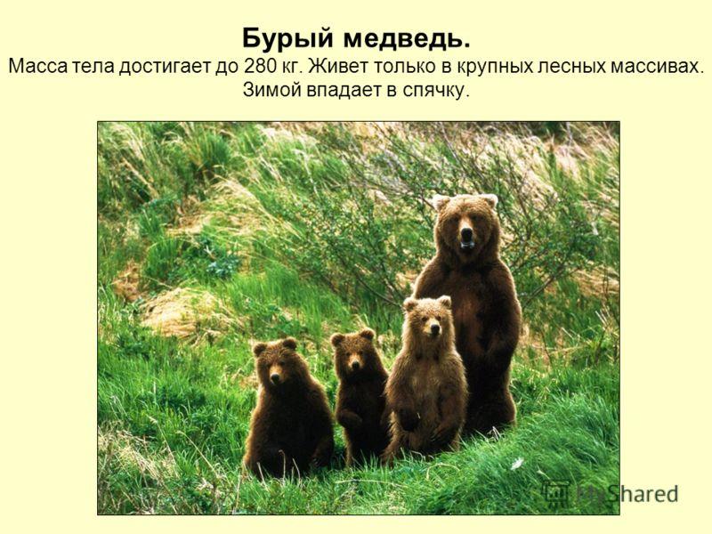 Бурый медведь. Масса тела достигает до 280 кг. Живет только в крупных лесных массивах. Зимой впадает в спячку.
