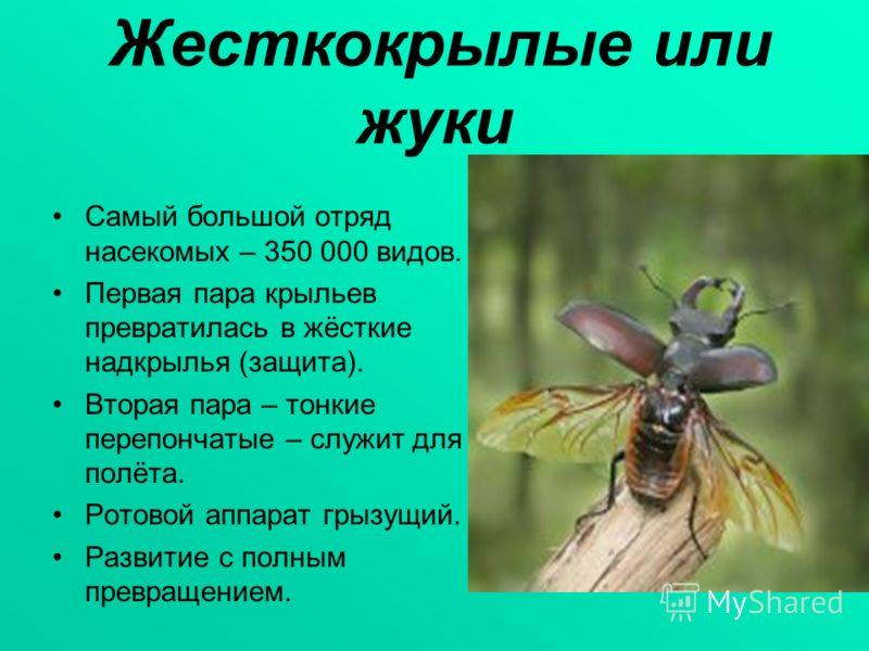 Жесткокрылые или жуки Самый большой отряд насекомых – 350 000 видов. Первая пара крыльев превратилась в жёсткие надкрылья (защита). Вторая пара – тонкие перепончатые – служит для полёта. Ротовой аппарат грызущий. Развитие с полным превращением.