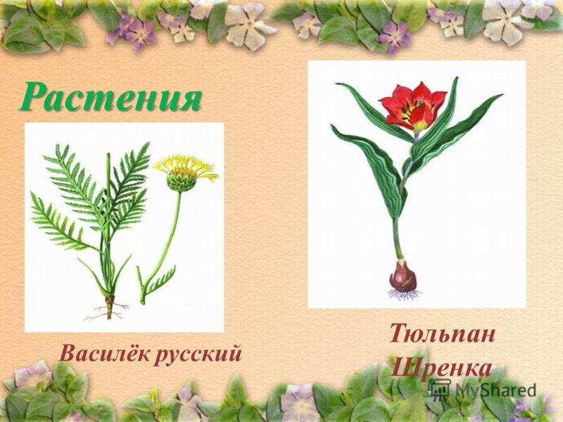 Растения Василёк русский Тюльпан Шренка