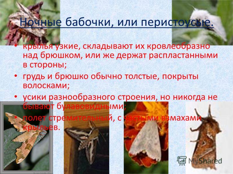 Ночные бабочки, или перистоусые. крылья узкие, складывают их кровлеобразно над брюшком, или же держат распластанными в стороны; грудь и брюшко обычно толстые, покрыты волосками; усики разнообразного строения, но никогда не бывают булавовидными; полет