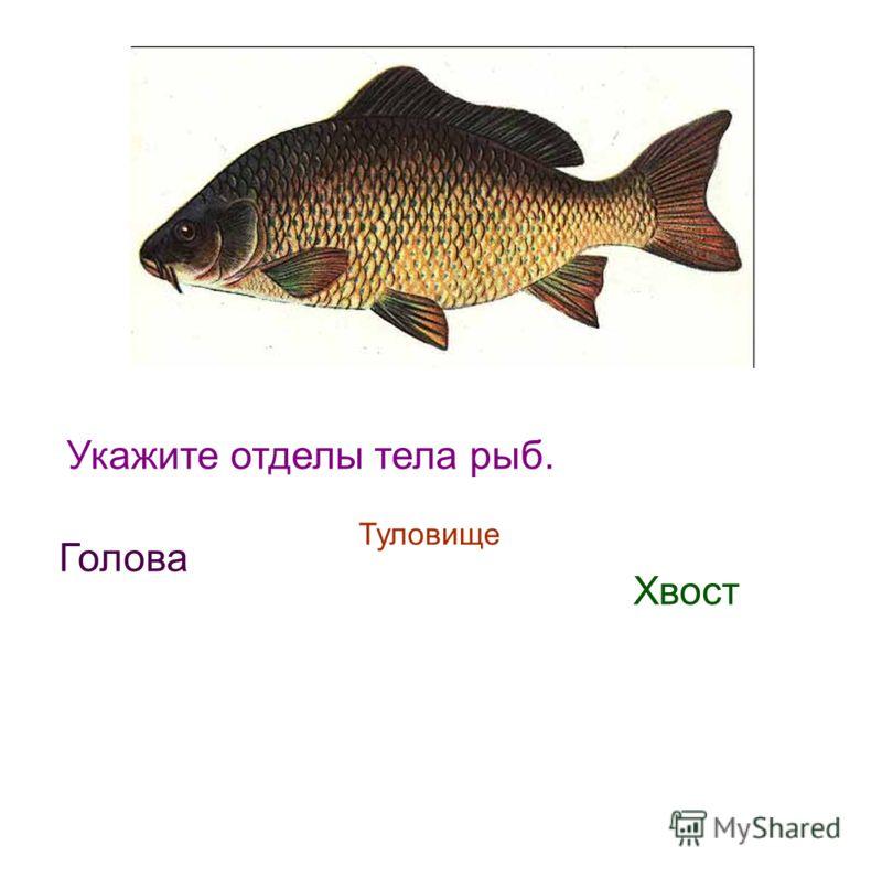 Укажите отделы тела рыб. Голова Туловище Хвост