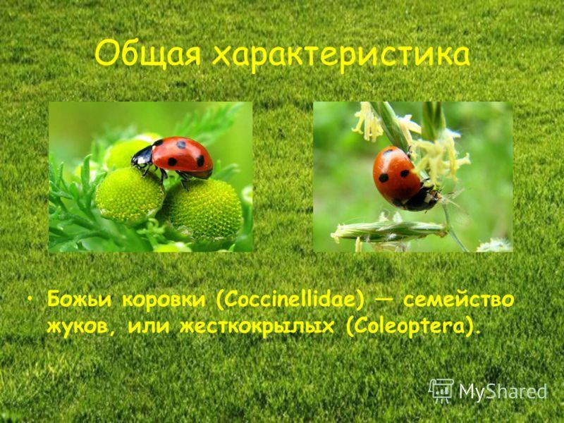 Общая характеристика Божьи коровки (Coccinellidae) семейство жуков, или жесткокрылых (Coleoptera).