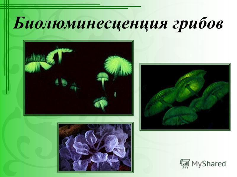 Биолюминесценция грибов