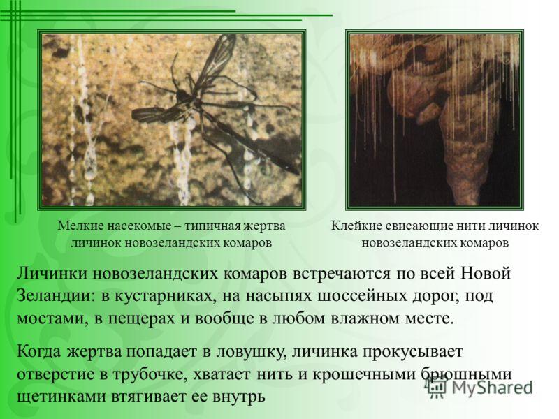 Личинки новозеландских комаров встречаются по всей Новой Зеландии: в кустарниках, на насыпях шоссейных дорог, под мостами, в пещерах и вообще в любом влажном месте. Когда жертва попадает в ловушку, личинка прокусывает отверстие в трубочке, хватает ни