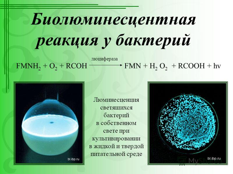 Биолюминесцентная реакция у бактерий FMNH 2 + O 2 + RCOH FMN + H 2 O 2 + RCOOH + hv люцифераза Люминесценция светящихся бактерий в собственном свете при культивировании в жидкой и твердой питательной среде