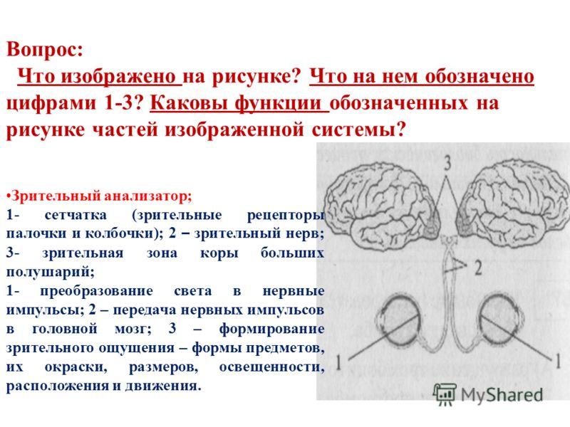 Вопрос: Что изображено на рисунке? Что на нем обозначено цифрами 1-3? Каковы функции обозначенных на рисунке частей изображенной системы? Зрительный анализатор; 1- сетчатка (зрительные рецепторы палочки и колбочки); 2 – зрительный нерв; 3- зрительная