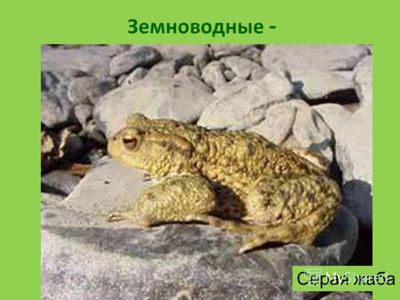 Земноводные - животные, которые могут жить и на суше, и в воде. Некоторые земноводные имеют хвост. Органы дыхания – лёгкие и кожа. В воде они размножаются, развивается их икра, здесь они проводят своё детство, а как только подрастают, у них возникает