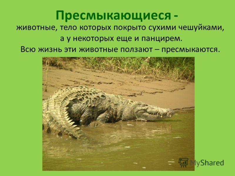 Пресмыкающиеся - животные, тело которых покрыто сухими чешуйками, а у некоторых еще и панцирем. Всю жизнь эти животные ползают – пресмыкаются.