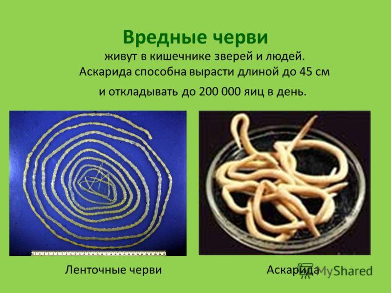 черви в кишечнике человека видео