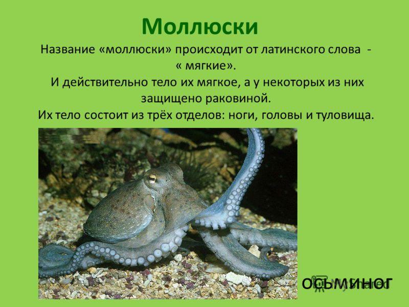 Моллюски осьминог Название «моллюски» происходит от латинского слова - « мягкие». И действительно тело их мягкое, а у некоторых из них защищено раковиной. Их тело состоит из трёх отделов: ноги, головы и туловища.