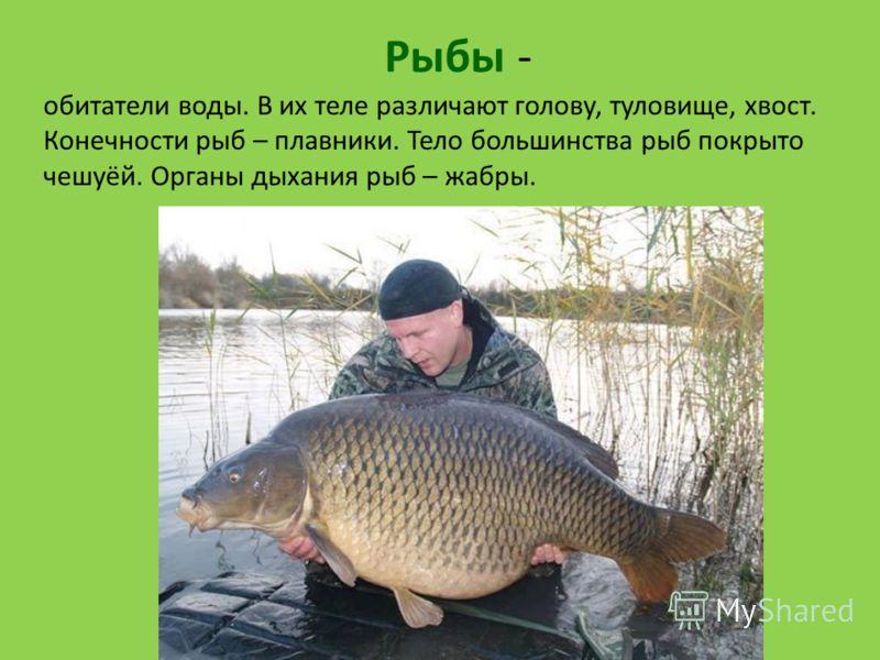 Рыбы - обитатели воды. В их теле различают голову, туловище, хвост. Конечности рыб – плавники. Тело большинства рыб покрыто чешуёй. Органы дыхания рыб – жабры.