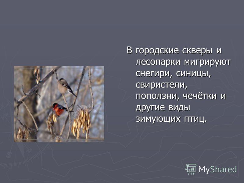 В городские скверы и лесопарки мигрируют снегири, синицы, свиристели, поползни, чечётки и другие виды зимующих птиц.