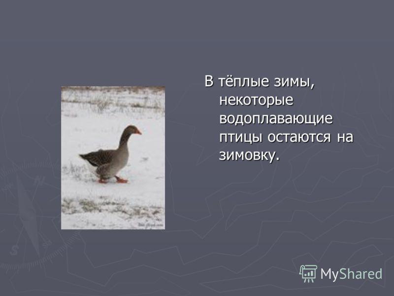 В тёплые зимы, некоторые водоплавающие птицы остаются на зимовку.