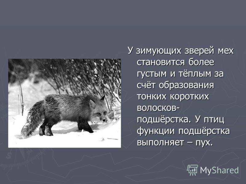 У зимующих зверей мех становится более густым и тёплым за счёт образования тонких коротких волосков- подшёрстка. У птиц функции подшёрстка выполняет – пух.