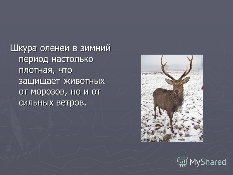 Шкура оленей в зимний период настолько плотная, что защищает животных от морозов, но и от сильных ветров.