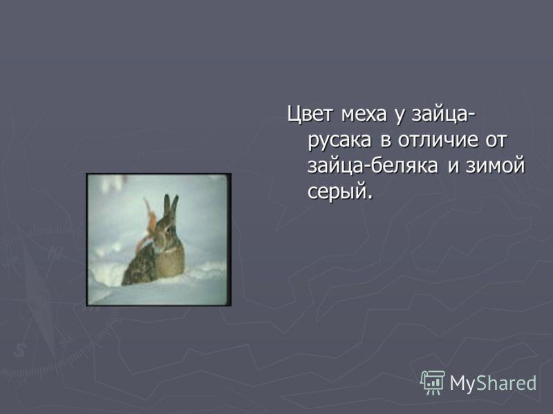 Цвет меха у зайца- русака в отличие от зайца-беляка и зимой серый.