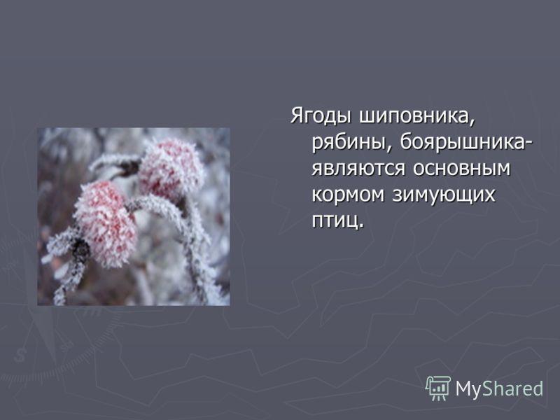 Ягоды шиповника, рябины, боярышника- являются основным кормом зимующих птиц.