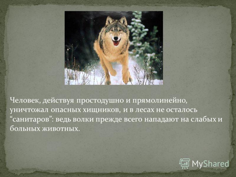 Человек, действуя простодушно и прямолинейно, уничтожал опасных хищников, и в лесах не осталось санитаров: ведь волки прежде всего нападают на слабых и больных животных.