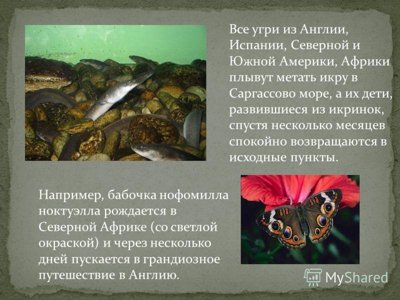 Все угри из Англии, Испании, Северной и Южной Америки, Африки плывут метать икру в Саргассово море, а их дети, развившиеся из икринок, спустя несколько месяцев спокойно возвращаются в исходные пункты. Например, бабочка нофомилла ноктуэлла рождается в