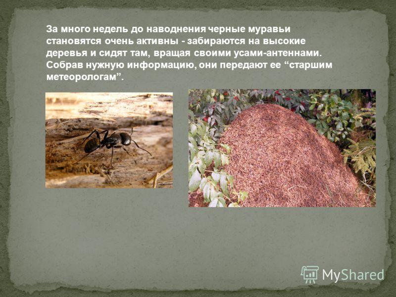 За много недель до наводнения черные муравьи становятся очень активны - забираются на высокие деревья и сидят там, вращая своими усами-антеннами. Собрав нужную информацию, они передают ее старшим метеорологам.