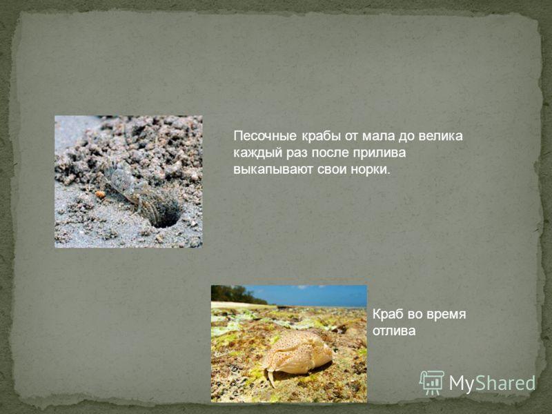 Песочные крабы от мала до велика каждый раз после прилива выкапывают свои норки. Краб во время отлива