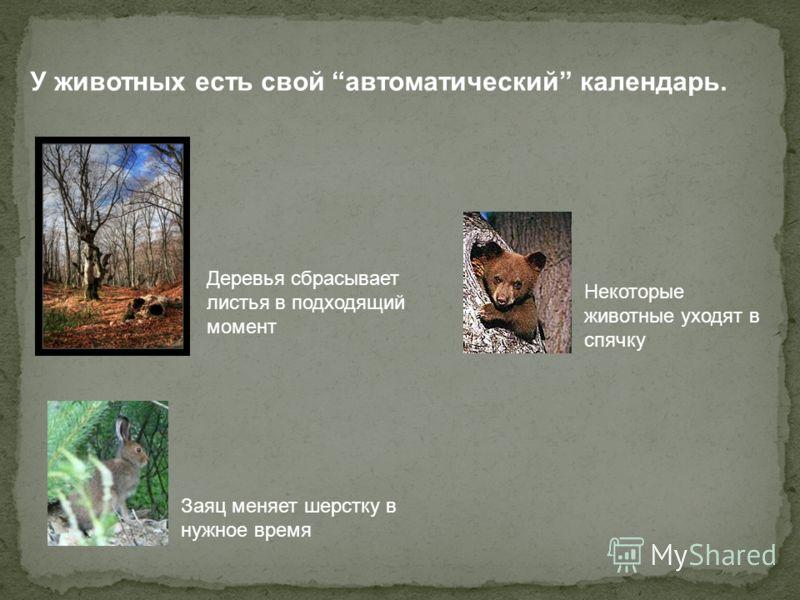 Заяц меняет шерстку в нужное время Деревья сбрасывает листья в подходящий момент У животных есть свой автоматический календарь. Некоторые животные уходят в спячку