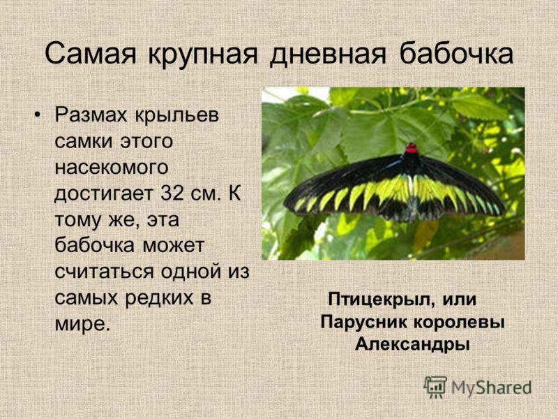 Самая крупная дневная бабочка Размах крыльев самки этого насекомого достигает 32 см. К тому же, эта бабочка может считаться одной из самых редких в мире. Птицекрыл, или Парусник королевы Александры