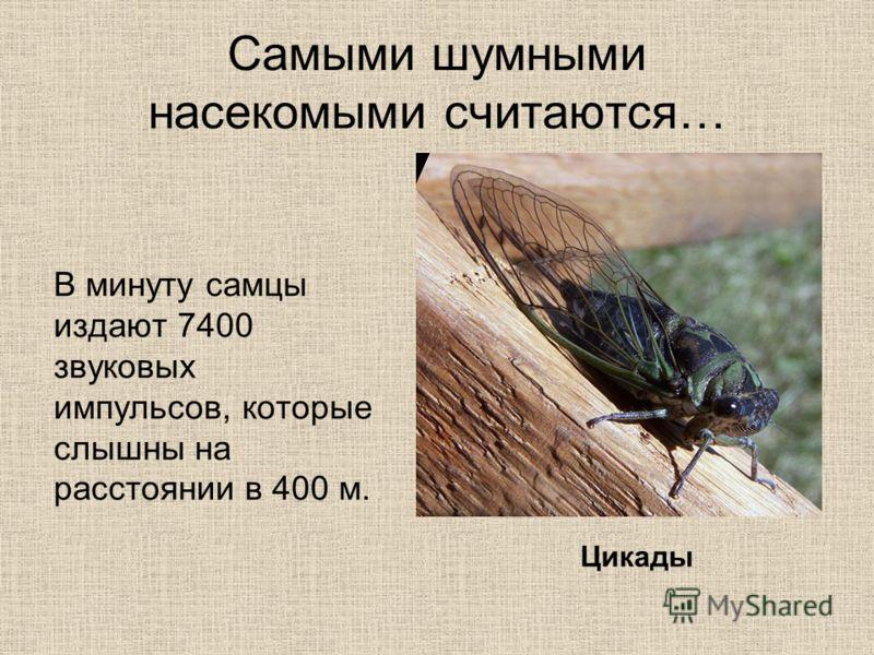 Самыми шумными насекомыми считаются… В минуту самцы издают 7400 звуковых импульсов, которые слышны на расстоянии в 400 м. Цикады